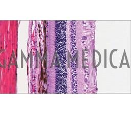 Anatomia Microscopica della Retina