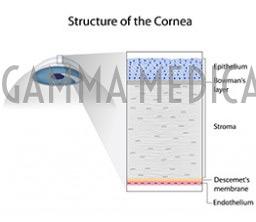 Struttura della cornea